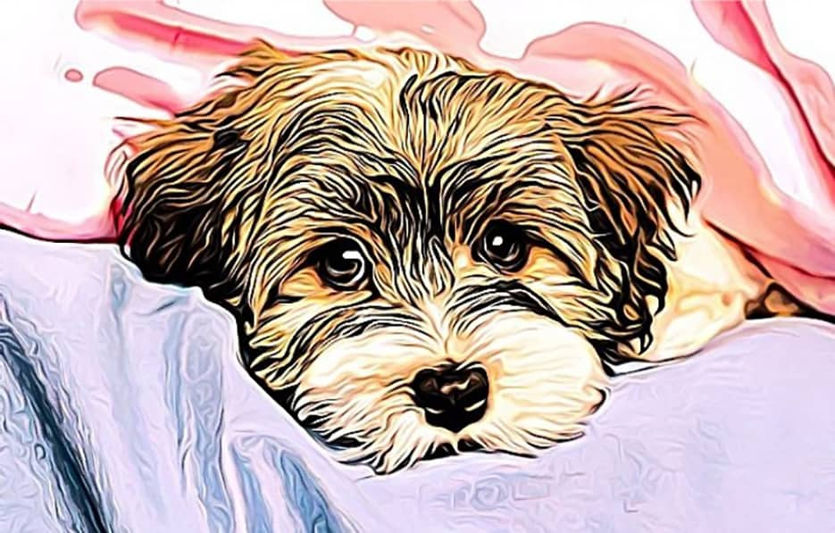 Buying a morkie, morkie information, morkie buying guide