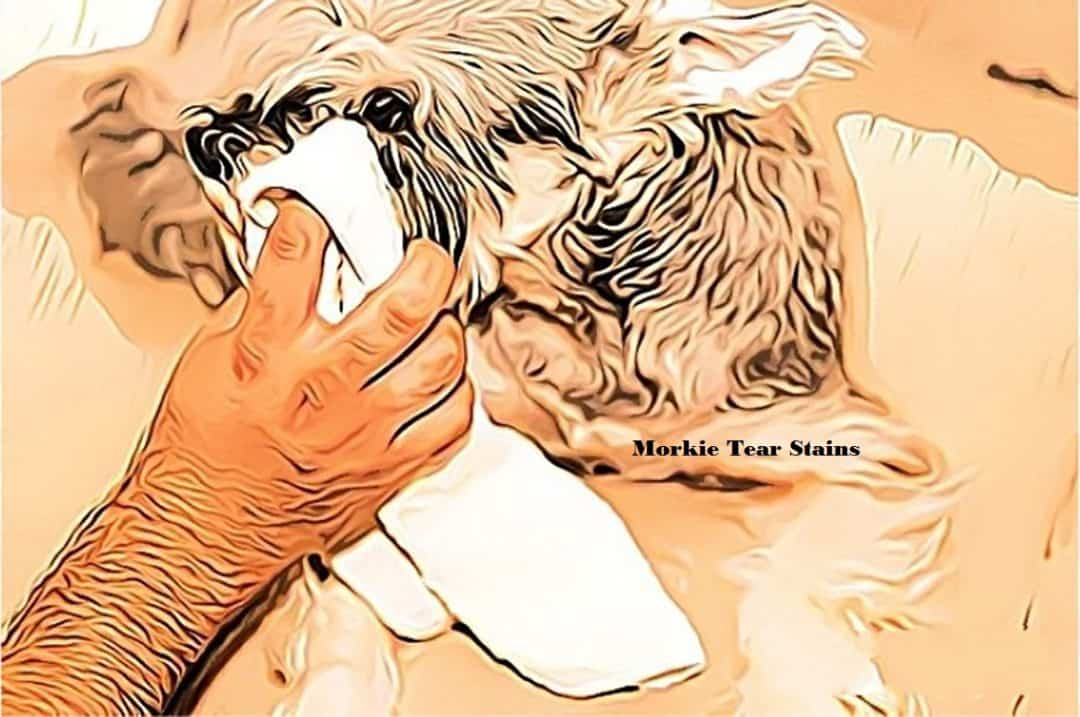 morkie tear stains, dog tear stains, coconut oil