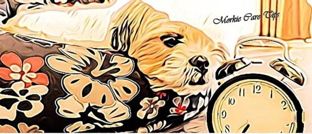 Morkie Care Tips, Morkie dogs care, Morkie dog guide
