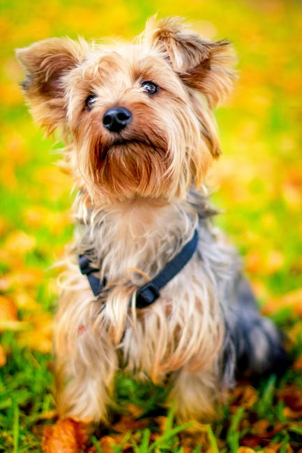 Yorkie Terrier, morkie flash.com, Yorkie, popular dog breed, most popular dog breeds.